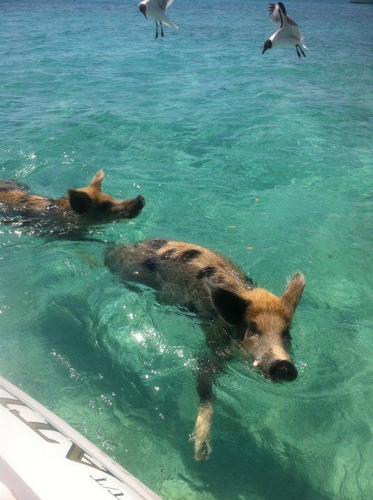 how to get to pig island bahamas