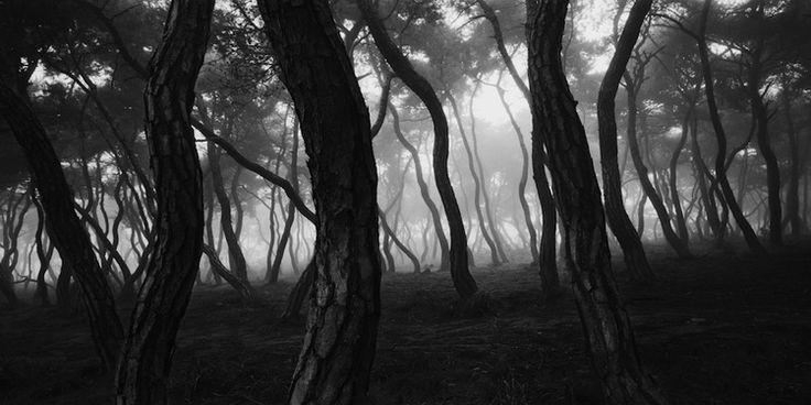 Grove of Pine Trees © Bien-U Bae
