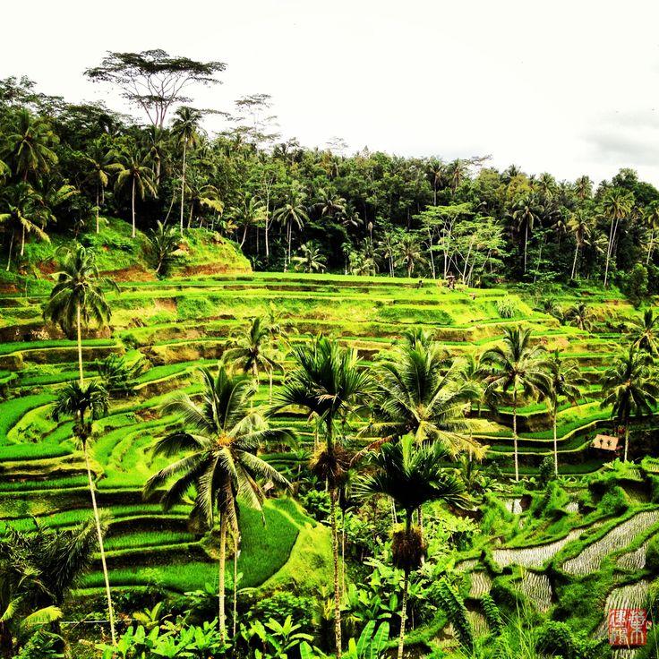 Rice Terrace @ Tegalalang, Ubud