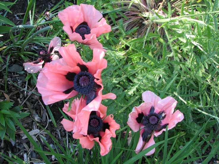Oriental poppies are show stoppers in the Spring & sometimes late Summer when they rebloom http://www.MervEdinger.com