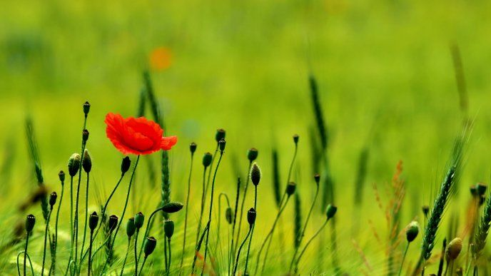 red poppies | Red poppy flower on a green poppy field - Download High Resolution ...