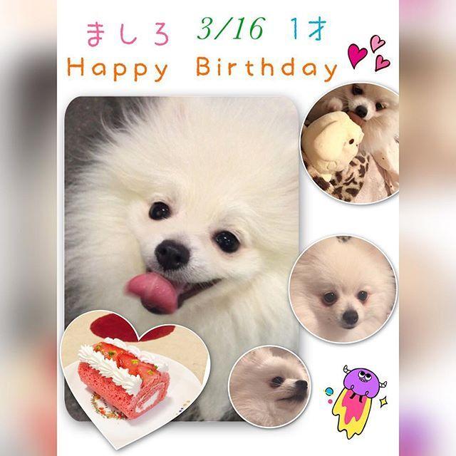旅行行ってて、当日は祝えなかったけど、3/16はましろの1才の誕生日だった(*´˘`*) 遅くなったけど、ましろにケーキ買った🍰  イチゴのロールケーキ、美味しそう(๑´ڡ`๑)  記念日ケーキが良かったけど、まさかの、記念日ケーキなかった…😭 2才の誕生日には、ちゃんとした記念日ケーキ買ってあげたいな🎂  #愛犬 #ポメラニアン #ホワイトポメラニアン #1才の誕生日 #イチゴのロールケーキ #記念日 #少し遅めのお祝い #おめでとう