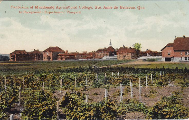 Experimental Vineyard Macdonald College STE ANNE DE BELLEVUE QC 1917 Valentine | eBay