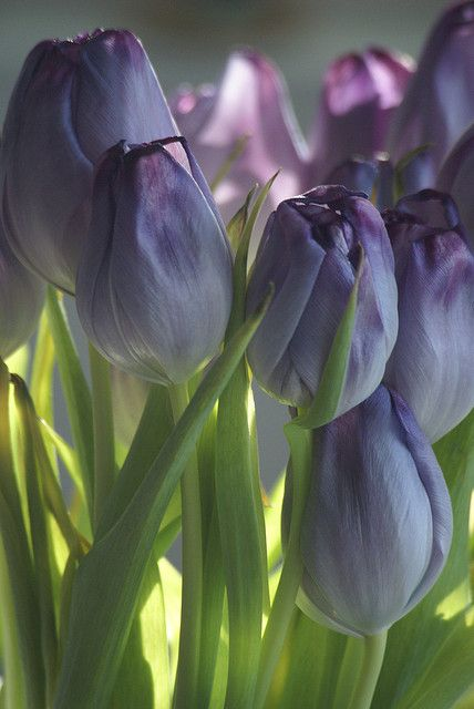 ~~More Purple Tulips by Bull Rider~~