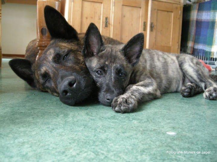 Hollandse Herder - I WANT this dog!!