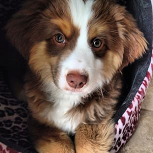And everything in between… | 19 Reasons Australian Shepherds Are The Best-Looking Dogs In The World