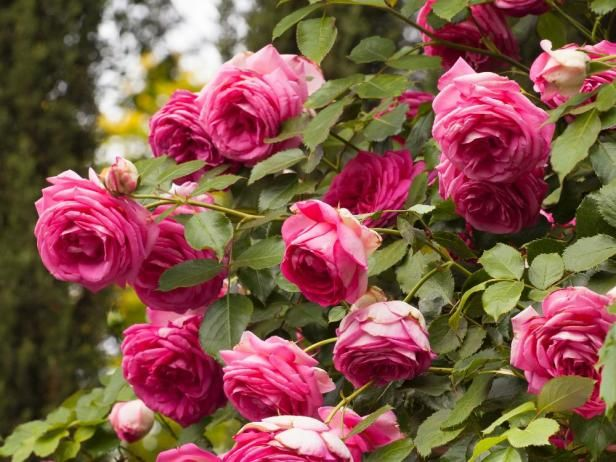 HGTV Gardens presents beautiful new roses to grow for 2015, plus where to find the seeds and plants.