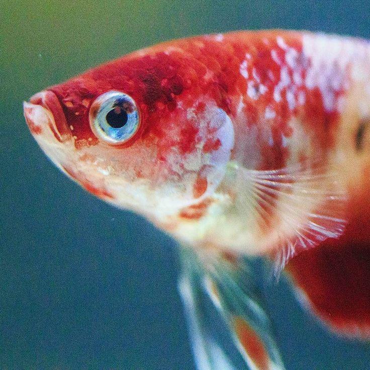 Close up of the handsome male #marblebetta  #bettafish #betta #bettasplendens #fishofinstagram #bettatank #koibettafish #bettalove #bettafishy #bettasofig #fishkeeping #koibetta #redbetta #red #closeup #fishface #fishy #animalphotography