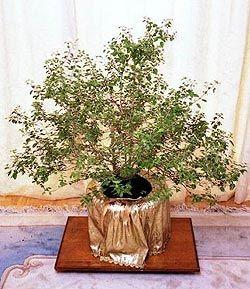 The Worshiping of Srimati Tulasi-devi and Benefits