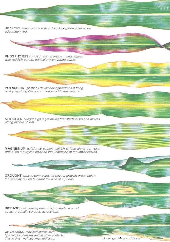 Illustrations on nutrient deficiencies on plant leaves.