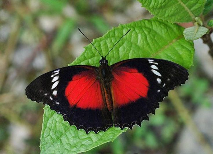 Whilst visiting Morobe province's Butterfly Ranch, take a look at one of the biggest butterflies in PNG, being the Red Lacewing butterfly. http://www.pagahillestate.com/visiting-morobe-province/