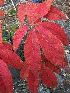 Aesculus x neglecta 'Autumn Fire', pépinière Jardins en Marche, Fête des Plantes, château de Saint-Jean de Beauregard (91)