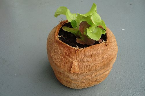 After you are done with your coconut, hollow it out out and use it to plant vegetables with shallow roots in them such as lettuces and other greens.