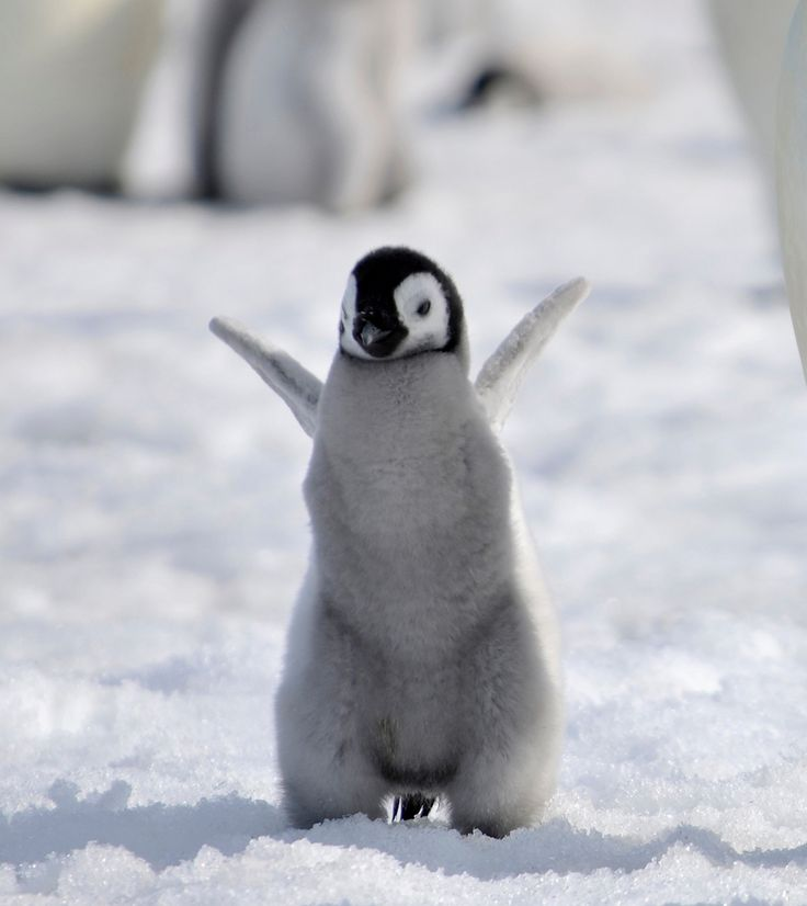 King Of The Hill Iphone Wallpaper Baby Emperor Penguin By Laogephoto Deviantart Com On