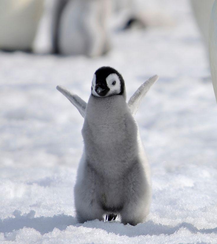 Baby emperor penguin by laogephoto viantart on