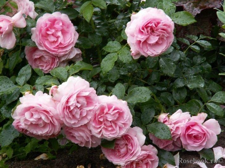 Rosenfee флорибунда