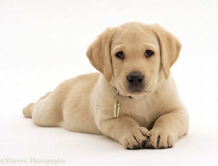 images of puppies | WP23935 Yellow Labrador Retriever puppy, 8 weeks old, wearing collar ...