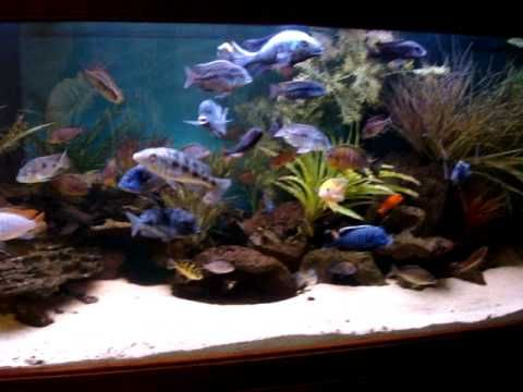 220 gallon african cichlid tank feb 39 11 update for Cichlid fish tank
