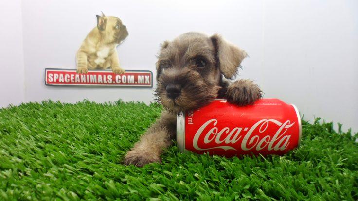 Aquí encontrarás ofertas, descuentos, paquetes en cachorros de raza Schnauzer miniatura trasportadoras , envio y Michochip GRATIS y más al mejor precio del mercado los encuentras aqui en www.VentadeCachorrosPerros.com ¡Entra Gratis! entrega Garantizada. Ventas por Teléfono: (01)(229) 2.60.31.86 / (01229) 3.06.02.03 / ID Nextel 42*15*597183 Móvil 22.99.60.60.77 / 22.92.91.20.91 WhatsApp Si estás en el extranjero llámanos al +52 229 260 3186