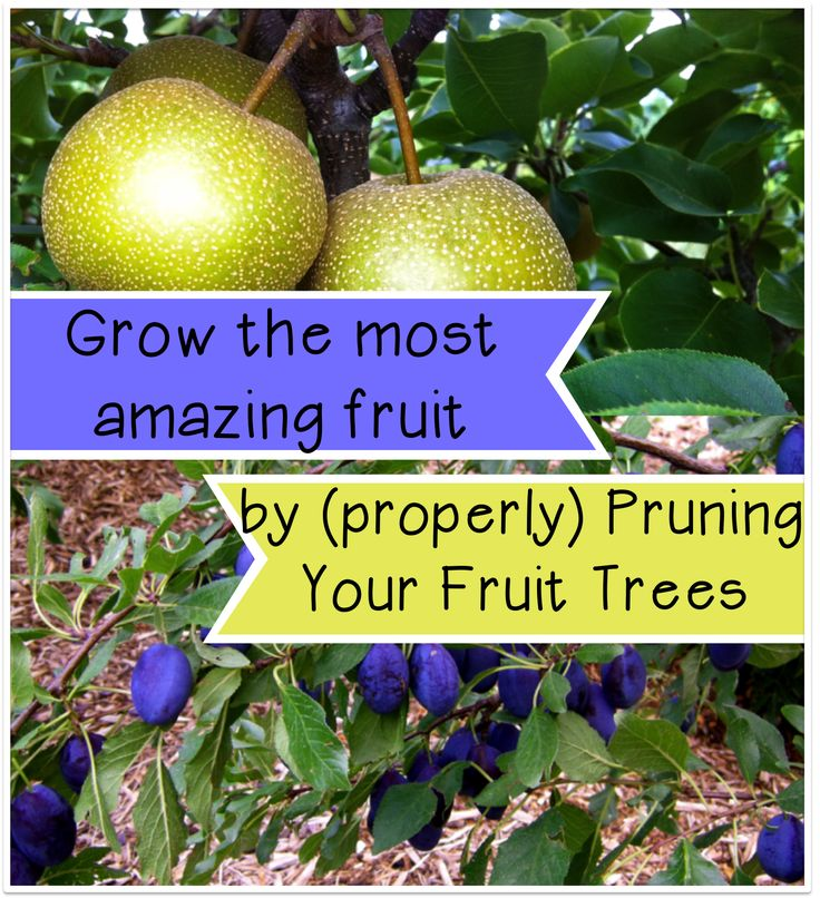 Apricot Pit Apartments: 462 Best Images About Fruit Trees On Pinterest