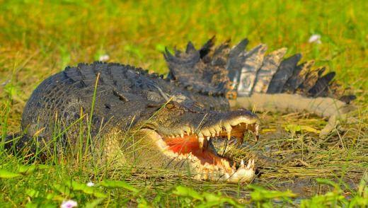 A crocodile at Cooper Creek in Arnhem land.