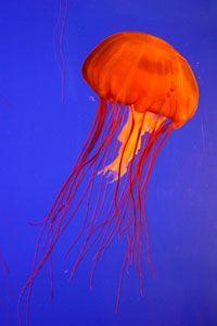 Recomiendación de la FAO de comer medusas e insectos