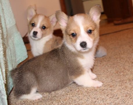 Litter of 5 Pembroke Welsh Corgi puppies for sale in POTEAU, OK. ADN-60416 on Pu…   – Puppies for Sale