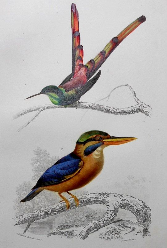 1849 Hummingbird and Laughing Kookaburra of New Zealand