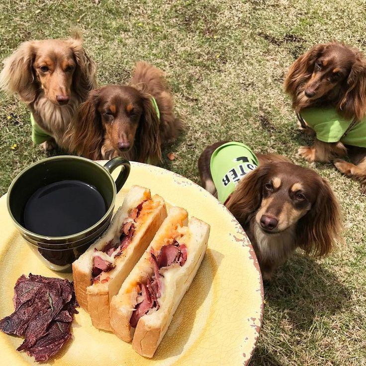 Humom' lunch & our snacks.  いやぁ今朝まで雨は凄かったですねぇそしていきなり晴れたので一家と一緒にサクッとお散歩にそして近所のおいしいサンドウィッチを持ち帰りにしてみんなでお庭ランチポテトチップスのようにあるものは一家のおやつ鹿肉ジャーキー試作を繰り返していた時のもの冷凍庫に隠してたおばば一家もご相伴に預かりましたやったね . #ダックス #短足部 #多頭飼い #チョコタン #チョコクリ #犬バカ部 #ワンコなしでは生きて行けません会 #おひとりさまワンコ部 #おひとりさまワンコごはん部 #癒しわんこ #犬ごはん #dachs #dachshund #doxie #ふわもこ部 #エンジェルわんず倶楽部 #おひとりさまとローズ一家
