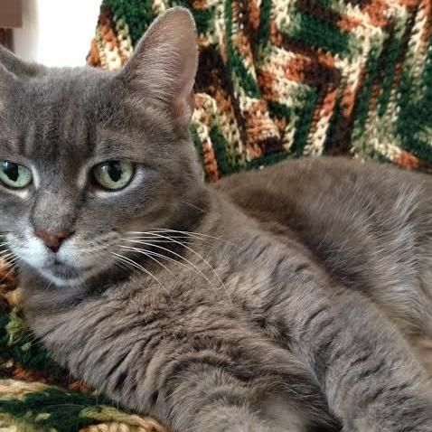 Smokey is an adoptable Domestic Short Hair-gray searching for a forever family near Toronto, ON. Use Petfinder to find adoptable pets in your area.