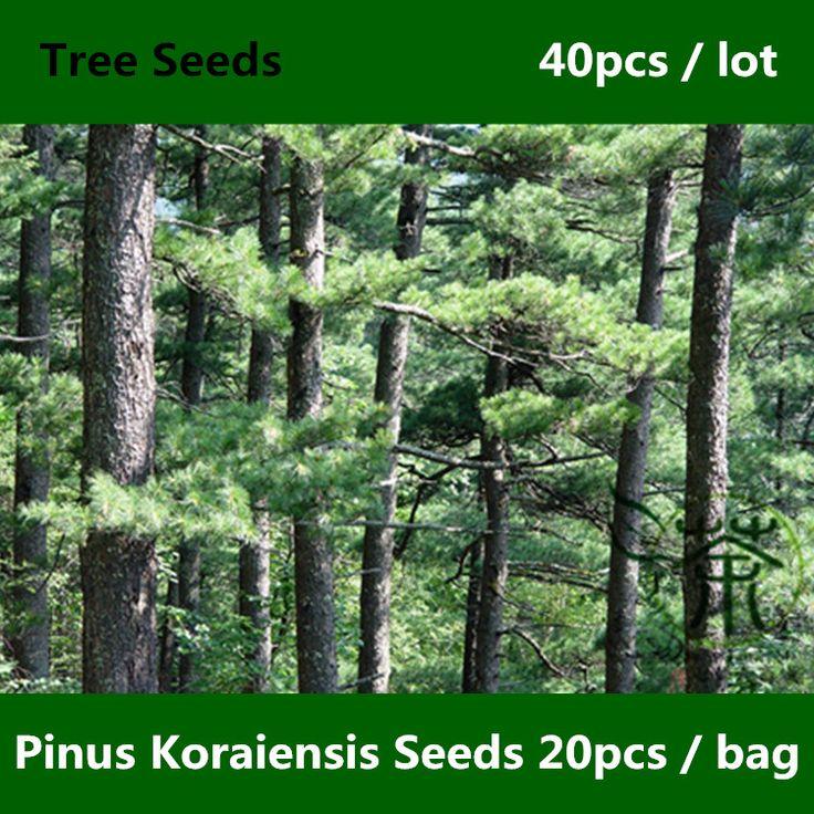 Evergreen Tree Pi nus Koraiensis Seeds 40pcs, Famy Pinaceae Miluch Loved Korean Pine Seeds, Ornamental Plant Hong Song Shu Seeds