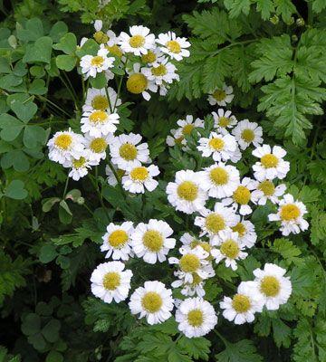 Vintage How to Keep Bees Away Feverfew with white petals Halten Bienen
