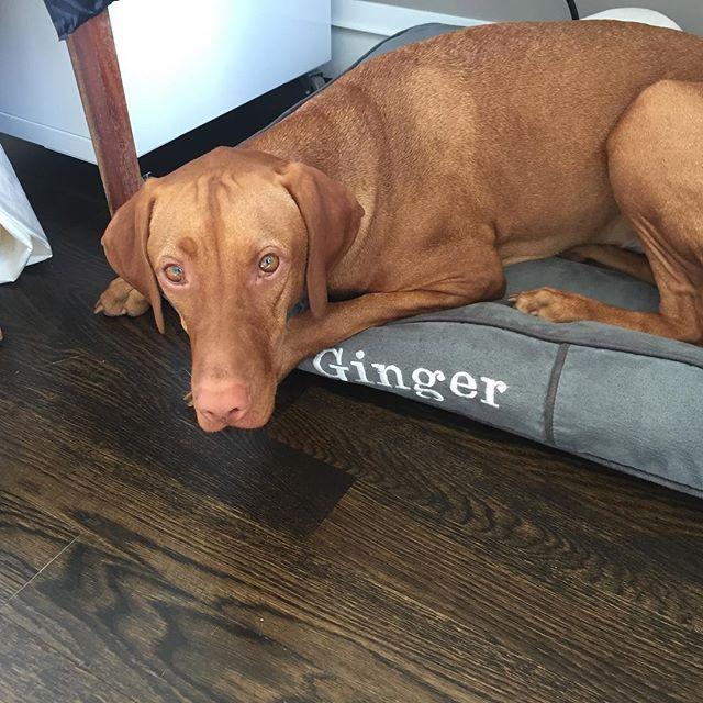 My favorite spot at the studio space...💙😃 have a beautiful afternoon☕️❤️🍩。 。 。 。 。 。 #ビズラ #いぬら部 #いぬ #愛犬との暮らし #愛犬 #愛犬と一緒 #イヌ #イヌスタグラム #午後 #beautiful #vizslasofinstagram101 #vizslalife #vizslaproblems #vizsla #vizslagirl #vizslasofinstagram #vizslatime #vizslalover #birddog #velcrodog #lovemydog