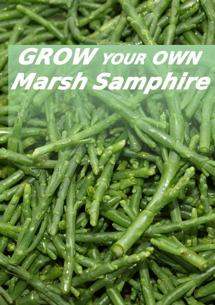 Grow your own marsh samphire Plant benefits, Growing