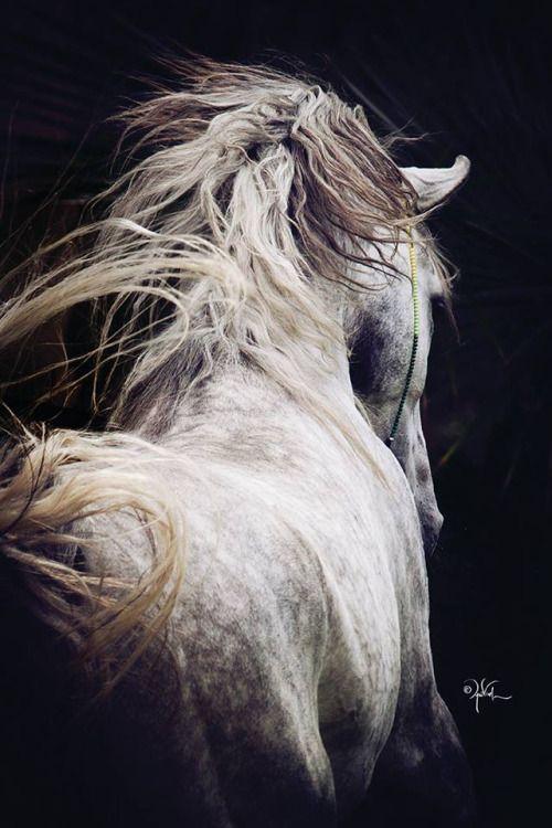 The Arabian Horse - Drinkers of the Wind — Habib el Agal (Rafik el Oumr x Razane EAO)