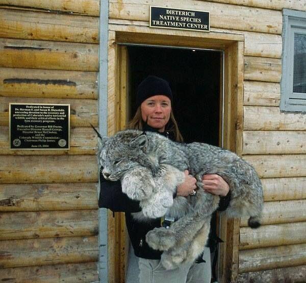 [Lince de Canadá - Foto tomada en el Hospital de la Fauna y Centro de Rehabilitación de Frisco Creek] » Look at those paws!! This picture is of a Canada Lynx, taken at the Frisco Creek wildlife Hospital and Rehabilitation Center,