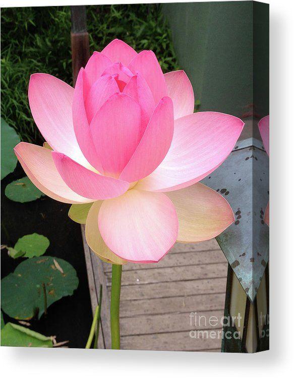 Pink Lotus Canvas Print Canvas Art By Nanci Worthington