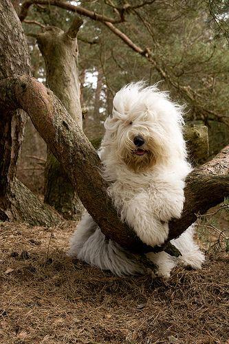 Old English Sheepdog--very cute, this is my favorite @ Elena Rivas