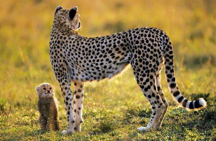 GUEPARDITO: Querida mamita, te veo muy seria ¿estás preocupada?. Cuando sea grande voy a ser muy veloz, como tú.