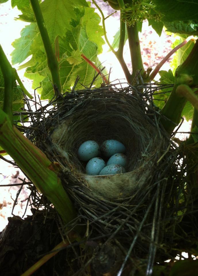 Descubrimos otro nido, esta vez habitado. #RiojaAlavesa #Wine #OrganicWine #Lanciego #Rioja