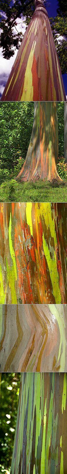 Радужный эвкалипт