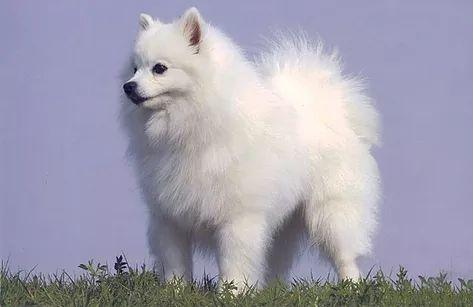 Le chien Esquimau Américain nain appartient à la famille des Spitz, originaire d'Allemagne. Cette race de chien est divisée en deux catégories de poids: