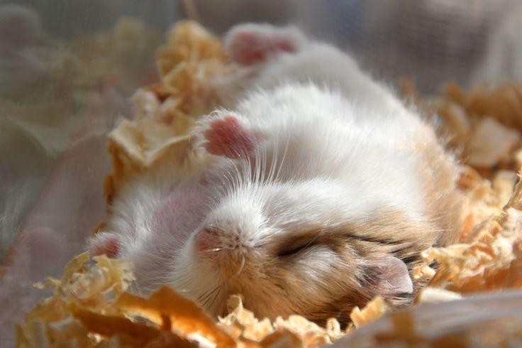 #Cute #roborovski #hamster Robi ♥