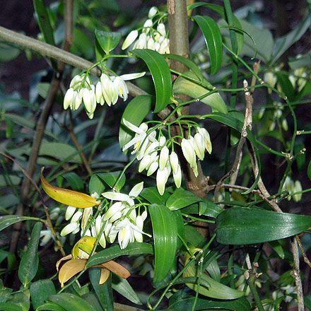scrambling lily Geitonoplesium cymosum grassy-leaved scrambler; shiny black berry & dainty, white, perfumed flowers; fresh shoots edible