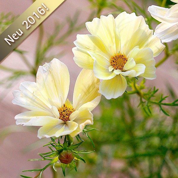 250 best Blumen & Kräuter images on Pinterest   Flowers, Daisies and ...