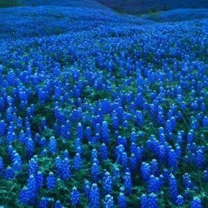 Texas Bluebonnets near Gun Barrel City TX