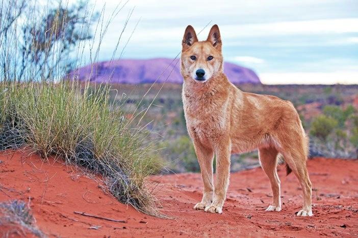 David Darcy image of a wild dog at Uluru.