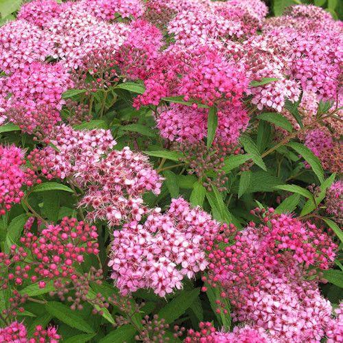8 Pink May Bush Japanese Spiraea Compact Garden Flower 400 x 300