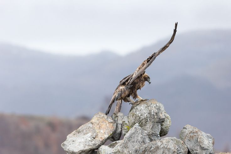 Photographing Golden Eagle (Aquila chrysaetos) in Bulgaria