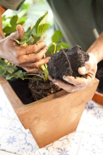 (EA) - Nosso Futuro Comum - César Torres: Morango - Como plantar morango em casa. Passo a Passo.